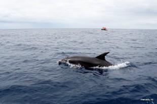 delfini_balene_sao_miguel_azore_09