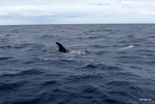 delfini_balene_sao_miguel_azore_15