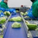 Tur de fabrică: salate la Eisberg